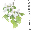 White flowering dogwood on branch watercolor 64950740
