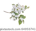 White flowering dogwood on branch watercolor 64950741