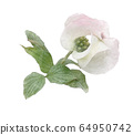 White flowering dogwood on branch watercolor 64950742