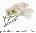 White flowering dogwood on branch watercolor 64950743