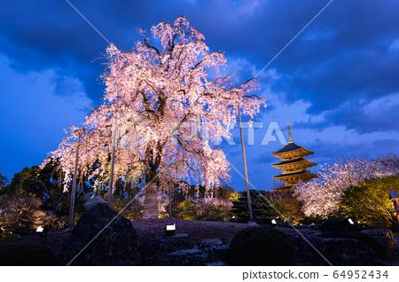 교토 도지 수양 벚나무 64952434