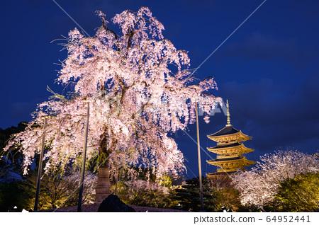 교토 도지 수양 벚나무 64952441