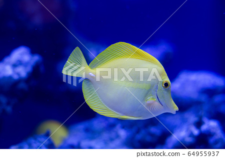 Zebrasoma, yellow surgeonfish. Bright coral reef fish in salt water. 64955937