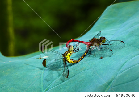 Dragonfly love 64960640