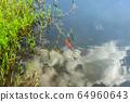 연못에 비단잉어,  물속의 구름 반영 64960643