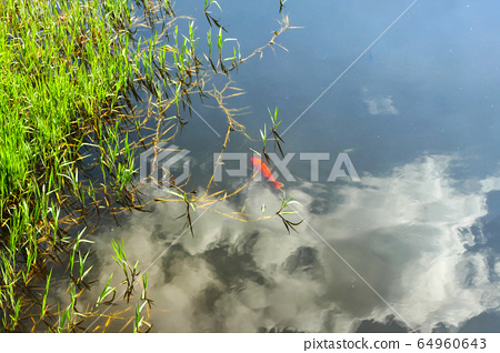 Koi in a pond, clouds in the water reflected 64960643
