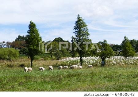 Pasture sheep 64960645