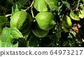 fresh green lemon on tree 64973217
