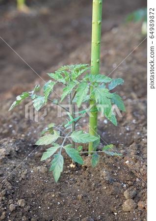 토마토 모종 야채 모종 64989872