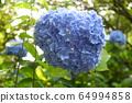 수국 블루 11 64994858