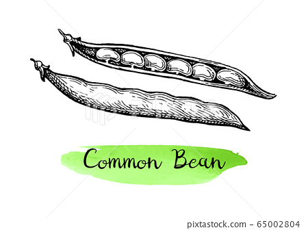 Ink sketch of common bean 65002804