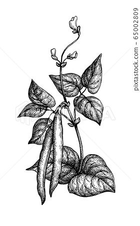 Ink sketch of common bean 65002809