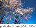 盛開的櫻花樹 65003052