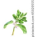 Broad bean flower watercolor vegetable flower material 65020555