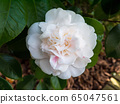 White camellia flower 65047561