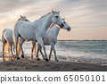 White horses in Camargue, France. 65050101