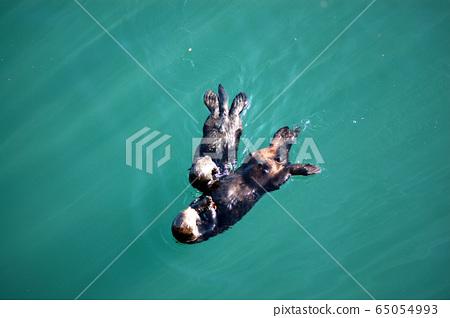Wild sea otter parent and child 65054993