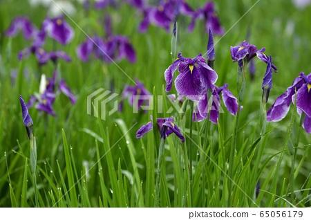 구키시 창포 성지 붓꽃 원의 장마에 피는 꽃 창포 65056179