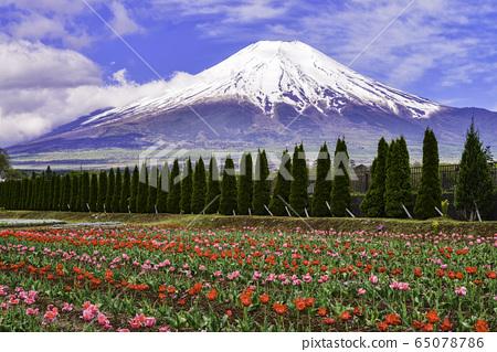 【야마나시 현] 화려한 도시 공원 튤립 꽃밭과 후지산 65078786