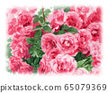Planting pink roses painted in watercolor 65079369