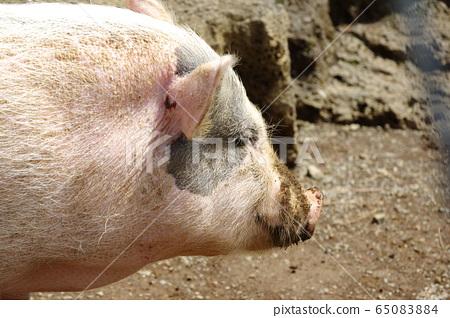 미니 돼지 65083884