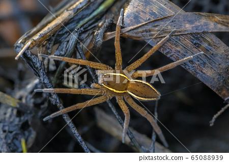 Great raft spider 65088939