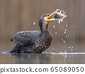 Great cormorant eating carp fish 65089050