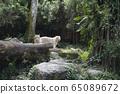 White Tiger Singapore Zoo 65089672