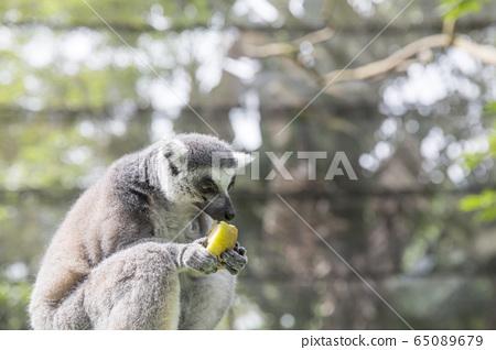 Lemur Singapore Zoo 65089679