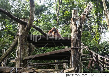 猩猩新加坡動物園 65089695