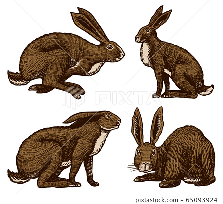 Wild hares. Rabbits are sitting and jumping. Forest bunny or coney. Hand drawn engraved old sketch 65093924