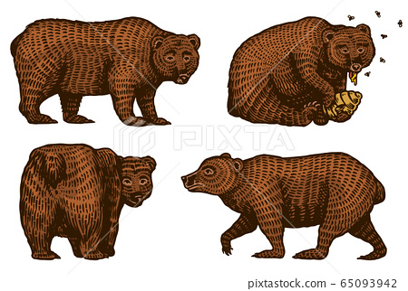 Grizzly bears. Hunting Brown wild animal eats honey and turns back. Side view. Hand drawn engraved 65093942