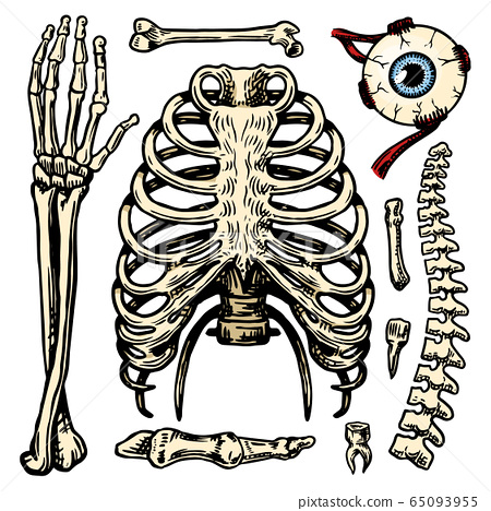Rib cage, Arm and eye and spine, Anatomy of human bones set. Body and Thorax and pelvis, Extremity 65093955