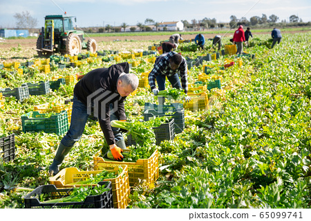 Group of men gardeners picking harvest of fresh celery to crates 65099741