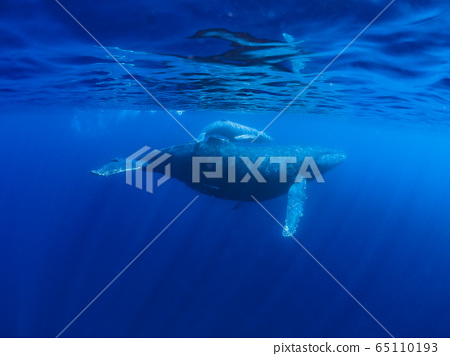 座頭鯨的父母和孩子 65110193