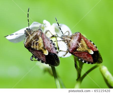 臭蟲,昆蟲,宏 65115420