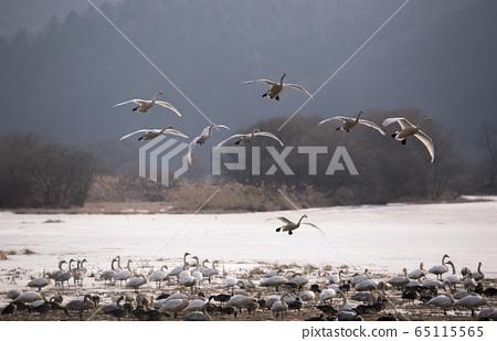 天鵝,遷徙,動物 65115565