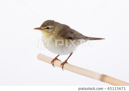 Willow Warbler (Phylloscopus trochilus) 65115671