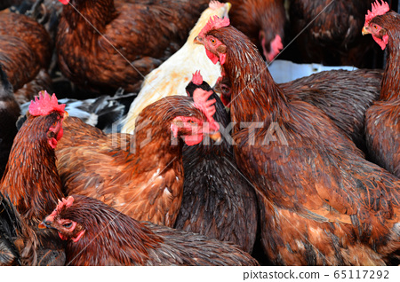 雞肉,雞肉,牲畜 65117292