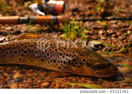 wild trout 65121361