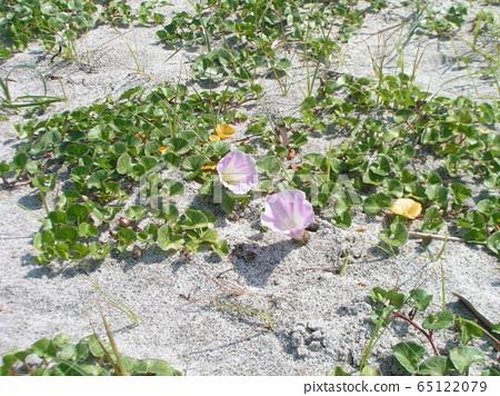 海滨假旋花 花朵 花卉 65122079