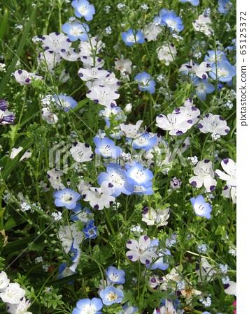 一朵藍色的nemophila花和一張白色的nemophila,花瓣像一個微笑的孩子一樣 65125372