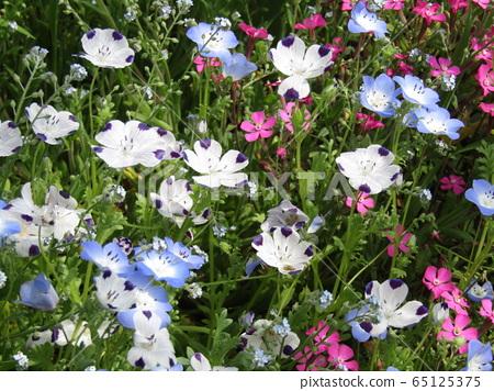 一朵藍色的nemophila花和一張白色的nemophila,花瓣像一個微笑的孩子一樣 65125375