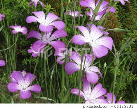 무기나데시코의 보라색에서 흰색 그라데이션 예쁜 꽃 65125533