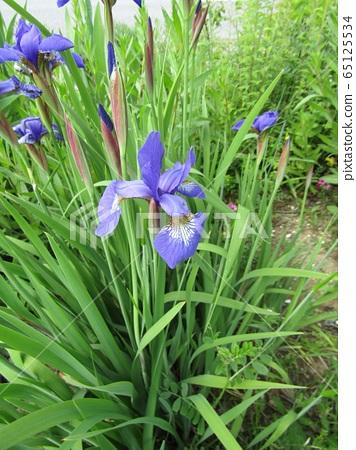 鳶尾花的季節來了 65125534