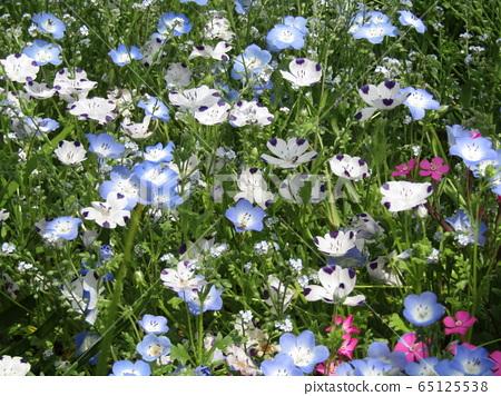 一朵藍色的nemophila花和一張白色的nemophila,花瓣像一個微笑的孩子一樣 65125538