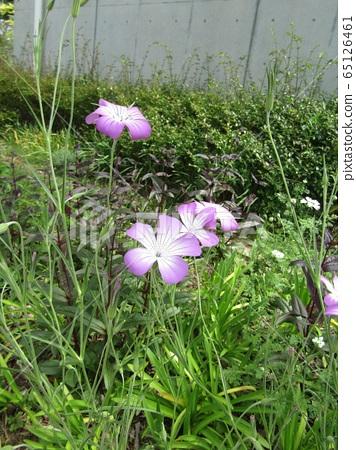 紫色到白色漸變的美麗花 65126461
