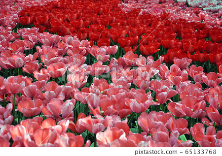 Fresh spring tulips 65133768