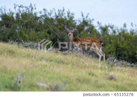 사슴,포유동물,굴업도 65135276