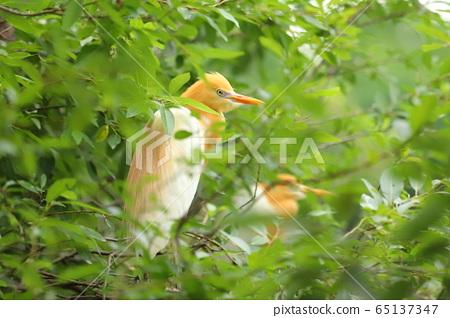 羅東林業文化園區 黃頭鷺 65137347
